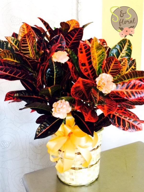 Croton Plant-