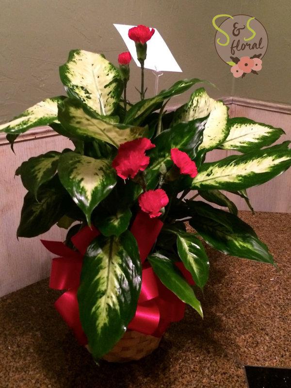 Dieffenbachia Plant-