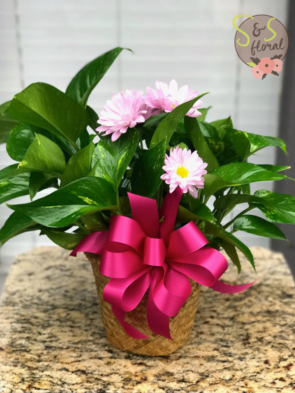 Pothos Plant-